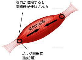 大森院長が研究開発した独自の手技GTOテクニック。筋肉と腱の相互性や、脊髄反射を利用した新しい手技についての説明となります。
